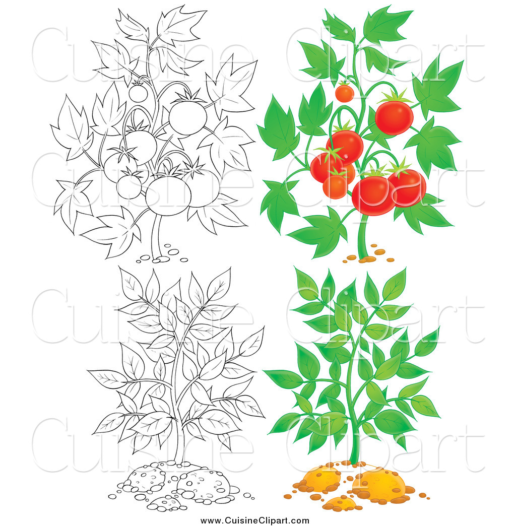 coloring pages of tomato plants - photo#33